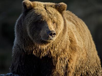 https://imgc.allpostersimages.com/img/posters/grizzly-bear-along-spawning-salmon-stream-kinak-bay-katmai-national-park-alaska-usa_u-L-PFWPWN0.jpg?p=0