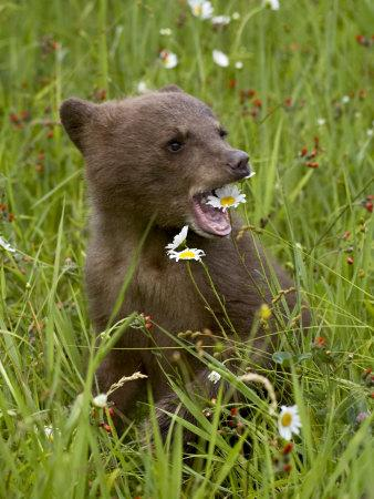 https://imgc.allpostersimages.com/img/posters/grizzly-bear-cub-in-captivity-eating-an-oxeye-daisy-flower-sandstone-minnesota-usa_u-L-P7NLKW0.jpg?p=0