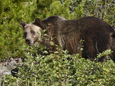 https://imgc.allpostersimages.com/img/posters/grizzly-bear-glacier-national-park-montana-usa_u-L-P7NLXC0.jpg?p=0