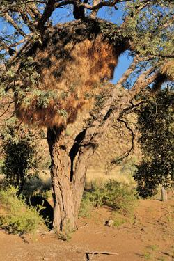 Camelthorn Tree with Community Nest by Grobler du Preez