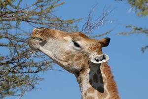 Giraffe Eating by Grobler du Preez