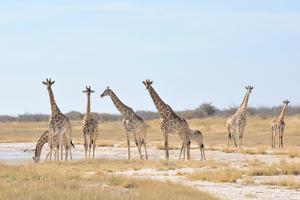 Giraffes by Grobler du Preez