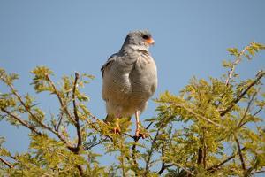 Southern Pale Chanting Goshawk, Melierax Canorus by Grobler du Preez