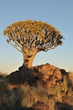 Sunrise at the Quiver Tree Forest, Namibia by Grobler du Preez