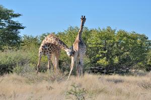 Two Head Butting Giraffes by Grobler du Preez
