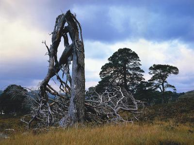 https://imgc.allpostersimages.com/img/posters/grov-britannien-schottland-hochland-schottische-kiefern-highlands-vegetation-landschaft_u-L-Q11YF7A0.jpg?p=0