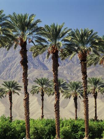 https://imgc.allpostersimages.com/img/posters/grove-of-date-palms-coachella-california-usa_u-L-PN6LUM0.jpg?p=0