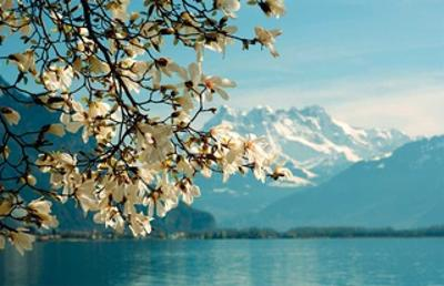 Blossoming Magnolia, Lake Geneva, Switzerland