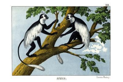 https://imgc.allpostersimages.com/img/posters/guereza-monkey-1860_u-L-PVBUQH0.jpg?p=0