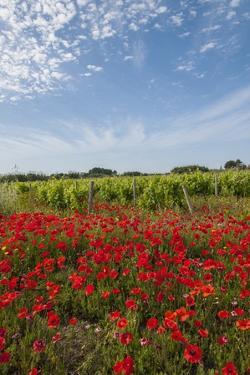 Vineyards near Ettore E Infersa Salt Works Area by Guido Cozzi