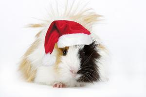 Guinea Pig Wearing Christmas Hat