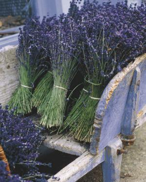 Lavender Harvest by Gunter Rossenbach