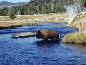Bison Crossing the Firehole River, WY by Guy Crittenden