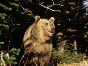 Grizzly Bear at Edge of Forest by Guy Crittenden
