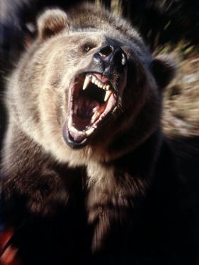 Grizzly Bear Growling by Guy Crittenden