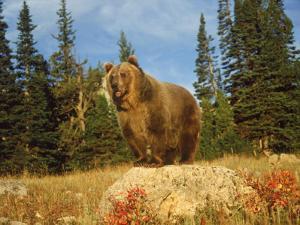 Grizzly Bear on Rock in Grassy Field, MT by Guy Crittenden