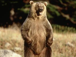 Grizzly Bear Standing in Field by Guy Crittenden
