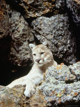 Mountain Lion on Rocky Bluff by Guy Crittenden