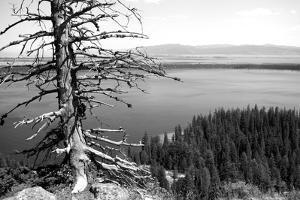 Usa, Wyoming, Grand Teton Np, Jenny Lake, Dead Tree (B&W) by Guy Crittenden