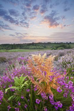 Bell Heather (Erica Cinerea) Flowering on Rockford Common, New Forest Np, Hampshire, UK by Guy Edwardes
