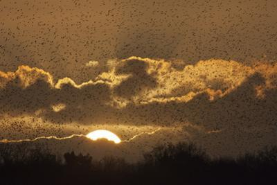 Starlings (Sturnus Vulgaris) Coming in to Roost at Shapwick, Somerset Levels, England, UK