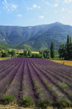 Crop of Lavender, Le Plateau De Sault, Provence, France by Guy Thouvenin
