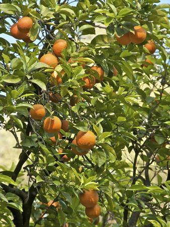 Neroli Orange Flowers and Oranges in Gardens of Reales Alcazares, Seville