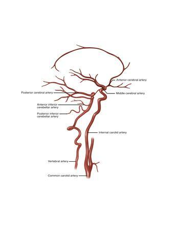 Arteries Found in the Head, Illustration