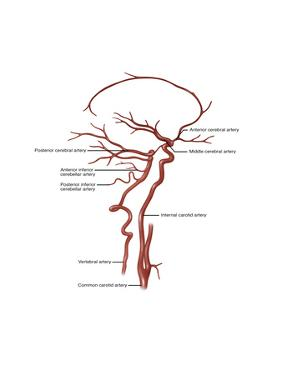 Arteries Found in the Head, Illustration by Gwen Shockey