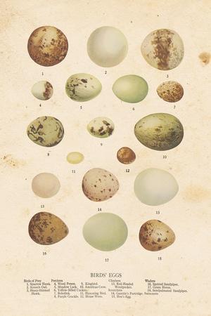 Birds Eggs II