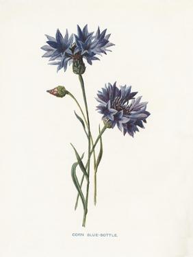 Corn Blue-Bottle by Gwendolyn Babbitt