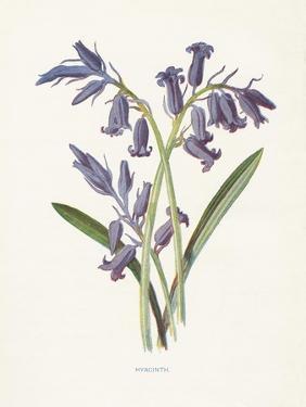 Hyacinth by Gwendolyn Babbitt
