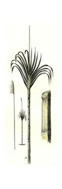 Gynerium Saccharoides 1869, Peru