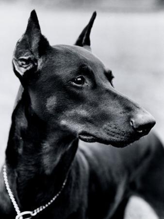 Doberman Pinscher Dog by H. Armstrong Roberts