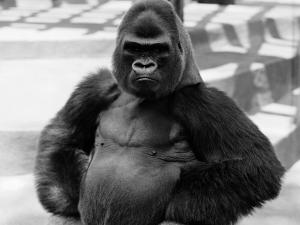 Gorilla With Hands on Hips by H. Armstrong Roberts