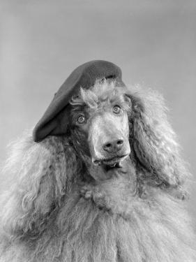 Poodle Dog Wearing a French Beret With Long Curly Hair by H. Armstrong Roberts