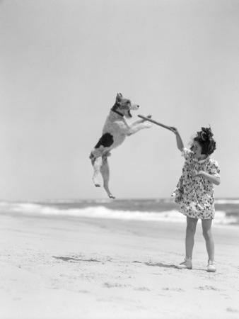 Wire Haired Terrier Dog Jumping in the Air Catch by H. Armstrong Roberts