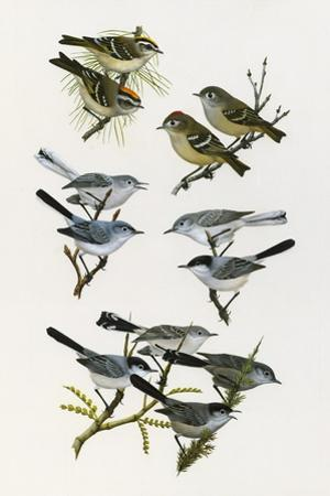 Paintings of Kinglets and Gnatcatchers