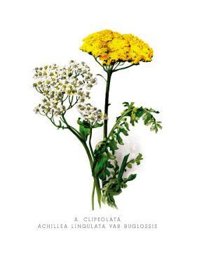 A. Clipeolata Achillea Lingulata Var Buglossis by H.g. Moon