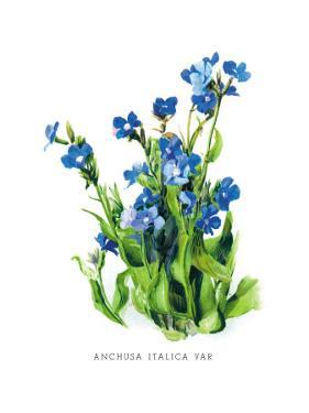 Anchusa Italica Var by H.g. Moon