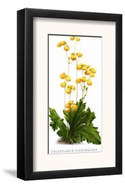 Calceolaria Plantaginea by H.g. Moon