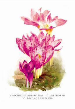 Colchicum Giganteum: C. Sibthorpii C. Bivonoe Superbum by H.g. Moon