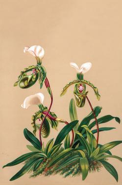 Cypripedium Spicerianum; East Indian Lady Slipper by H.g. Moon