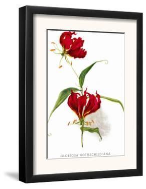 Gloriosa Rothschildiana by H.g. Moon