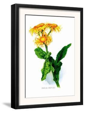 Inula Roylei by H.g. Moon