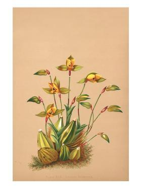 Lycaste Aromatica by H.g. Moon