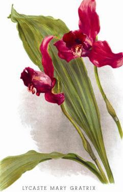 Lycaste Mary Gratrix by H.g. Moon