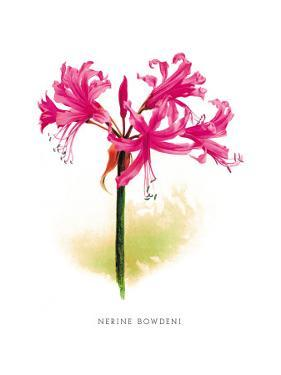 Nerine Bowdeni by H.g. Moon