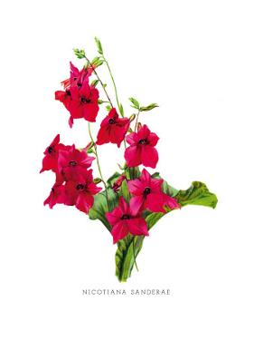 Nicotiana Sanderae by H.g. Moon
