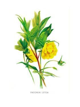Paeonia Lutea by H.g. Moon